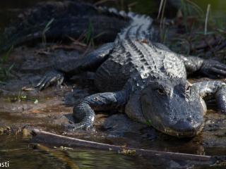 Alligators - Alligatoren 014
