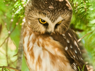 Eule _ Owl 01