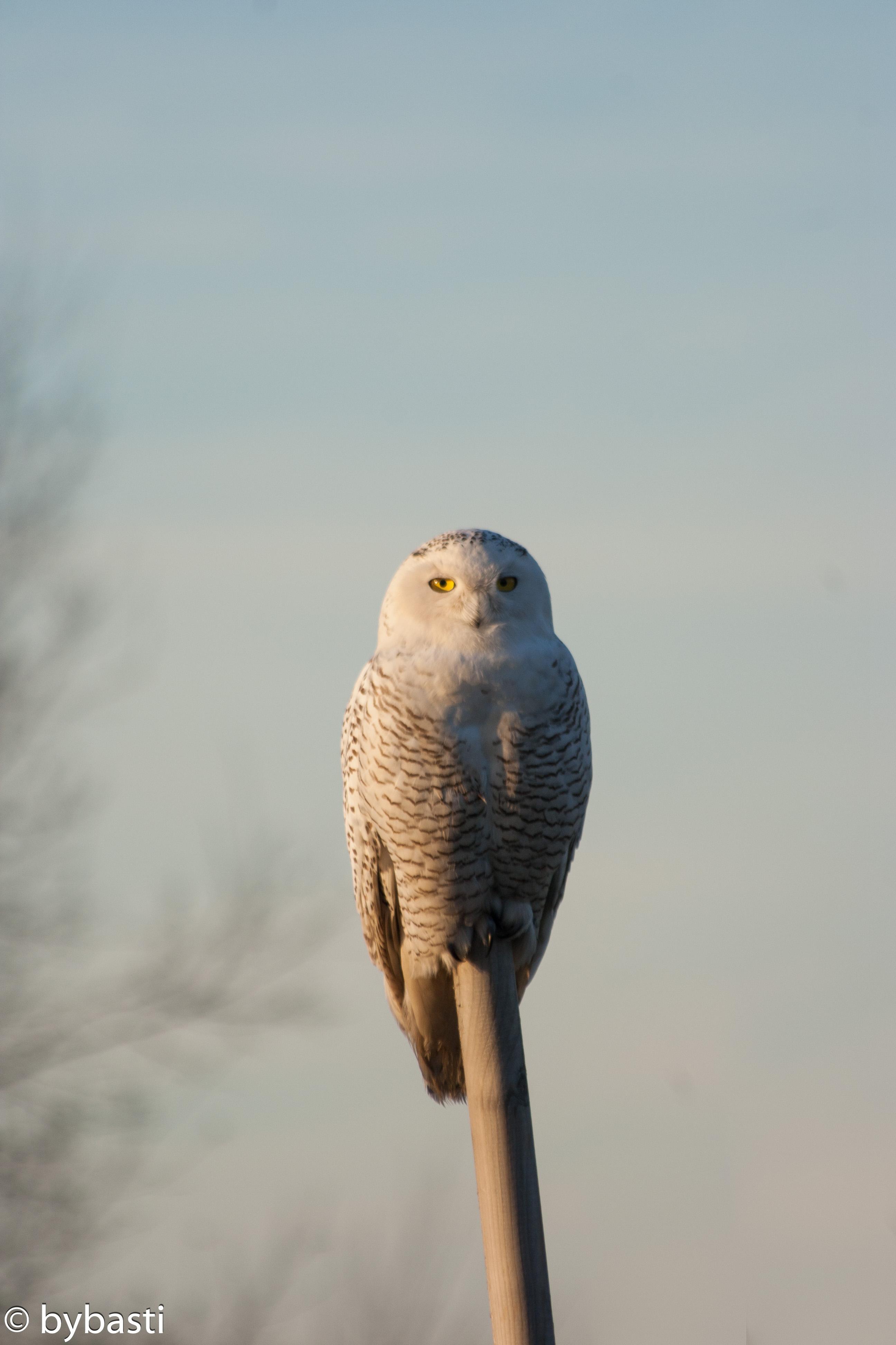 Eule _ Owl 03