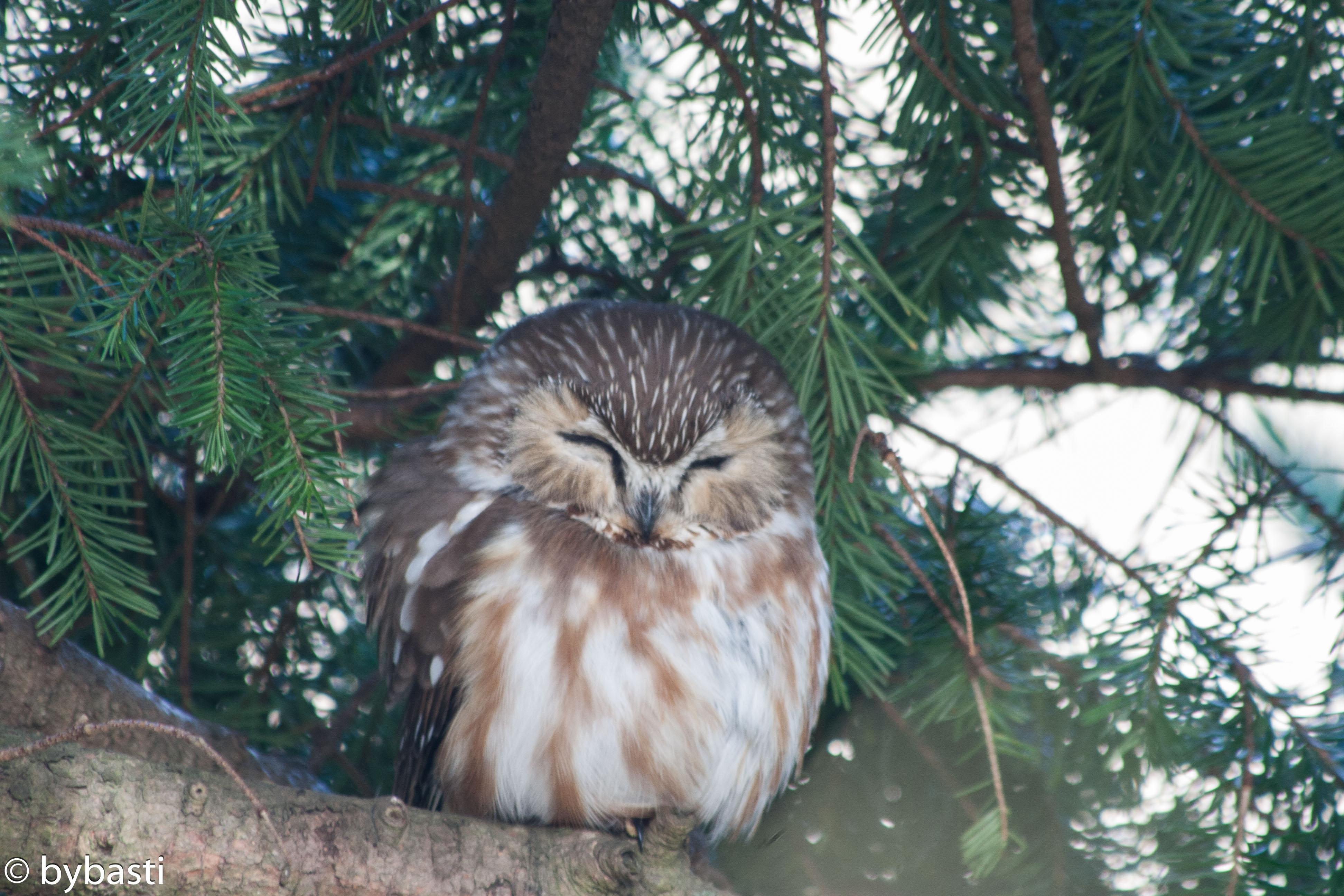 Eule _ Owl 02
