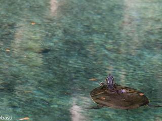 Alligators - Alligatoren 010