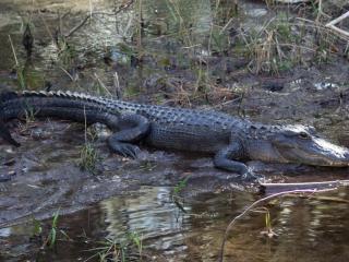 Alligators - Alligatoren 011