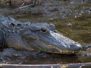 Alligators - Alligatoren 012