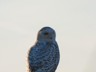 Eule _ Owl 05